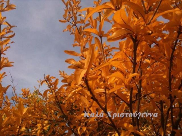 Granatapfelbaum 5α