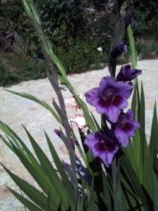 Gladiole blau