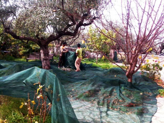 olivenernte-5