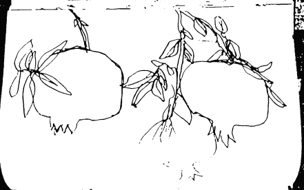 Granatäpfel am Baum