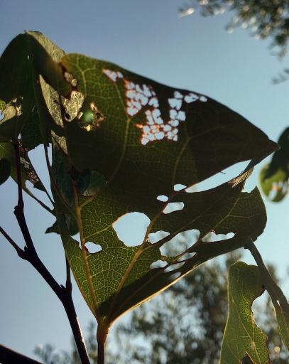 zerfressene Blätter des Judasbaumes