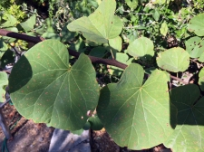 gesunde Blätter des Judasbaumes