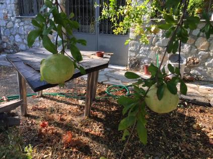 unreife Granatäpfel