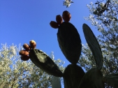 Feigenkaktus-Früchte