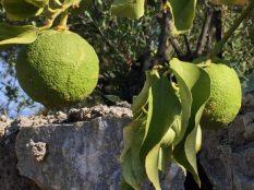unreife verwilderte Orangen