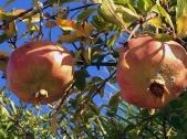 fast reife Granatäpfel