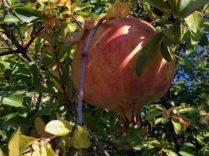 fast reifer Granatapfel
