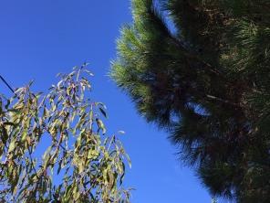 Mandelbaum und Pinie