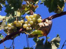 letzte Weintrauben