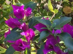 Scheinblüten der Bougainvillia