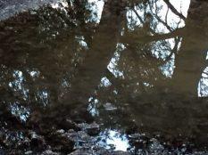 Spiegelung von Pinien