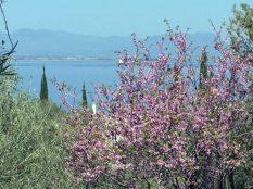 Judasbaum und Meer