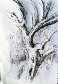 Zeichnung des Stamms