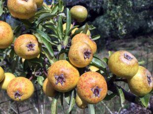Früchte reiften