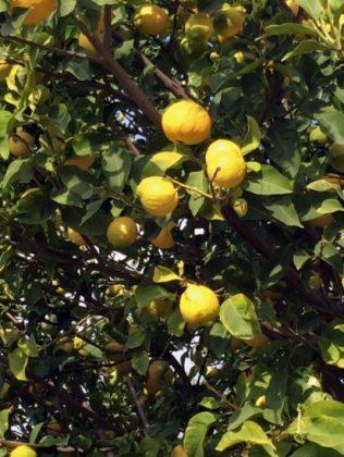 Zitronen...