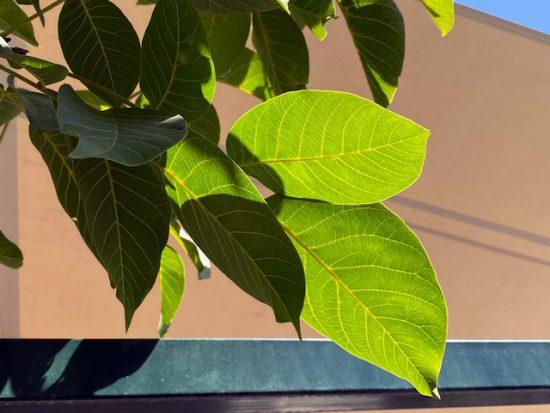 Blätterdeswallnussbaums
