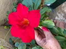 rote Blume im Kasten